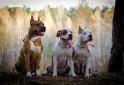 Высокопородные щенки американского стафф терьера